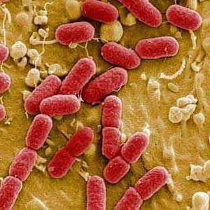 เชื้อแบคทีเรีย Escherichia coli (อีโคไล)