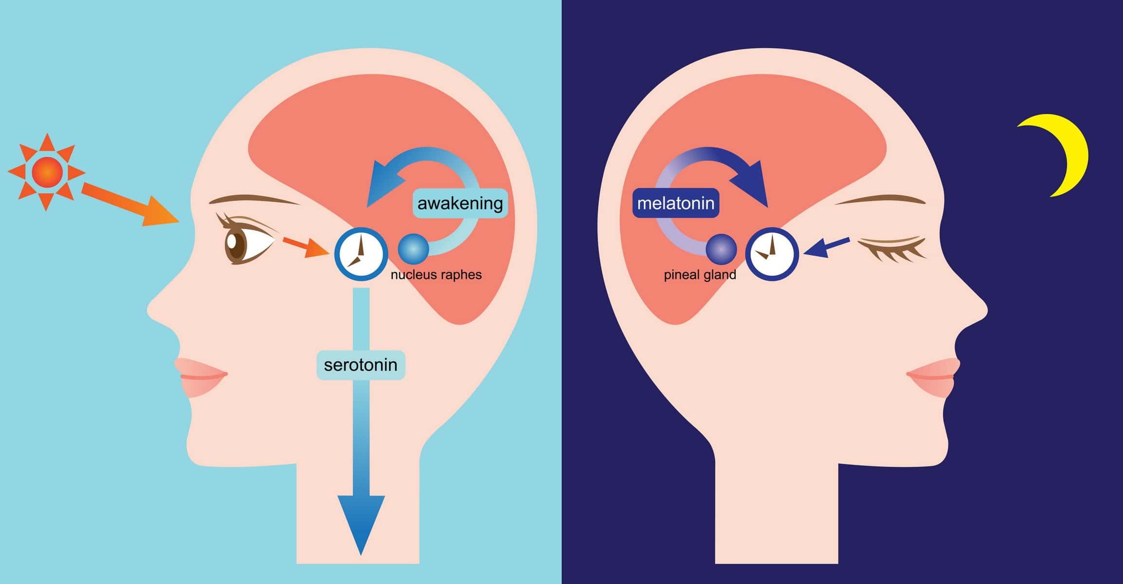เมลาโทนิน (melatonin) กับวงจรการนอนหลับ